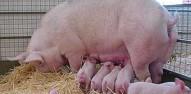 Retete culinare carne porc